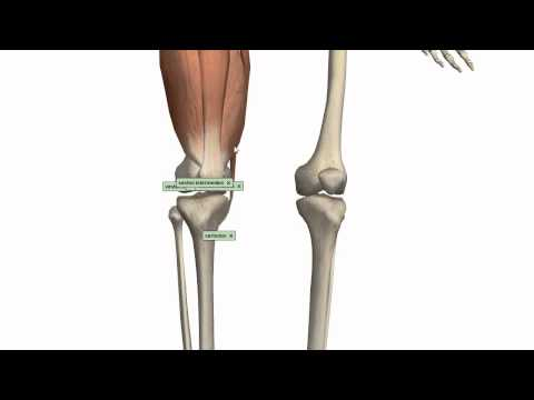Muscles of the Thigh Part 1 Anterior Compartment Anatomy Tutorial