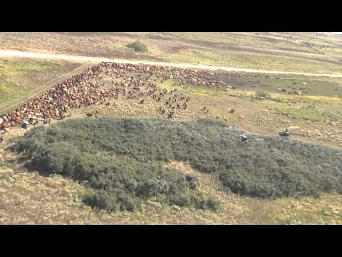 Helicopter Roundup on the 400,000 Acre Historic Kenedy Ranch