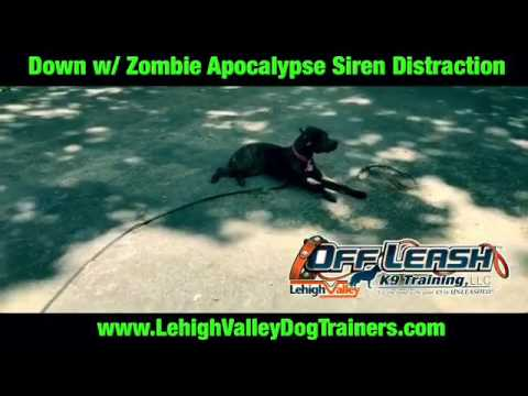 Diesel in a Down Stay w/ Zombie Apocalypse Siren Distraction ||| Lehigh Valley Dog Trainers