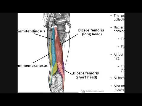 Posterior Thigh Compartment | Hamstrings Origins, Insertions, Etc.