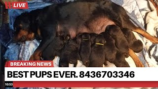 14 days old pups. Call today 8436703346 best of the best