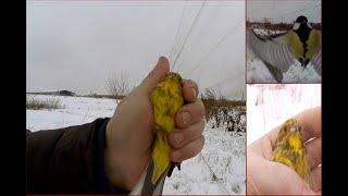 Ловля певчих птиц. Овсянки или синицы отаке.