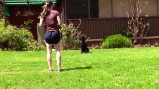 Advanced Obedience Dog Training Poodle | Clicker Dog Training