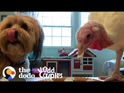 Turkey Can't Stand To Be Away From Her Dog Best Friend  | The Dodo Odd Couples