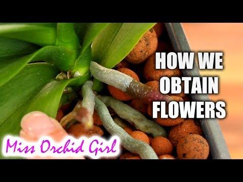 How nurseries rebloom Phalaenopsis Orchids + Mini Vs. Standard Phalaenopsis