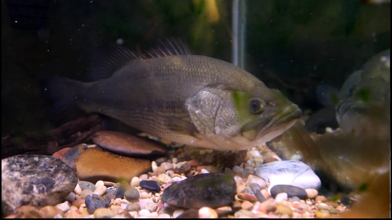 Largemouth bass eats a bluegill in an aquarium youtube for Freshwater fish to eat