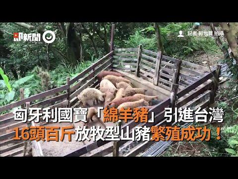 匈牙利國寶「綿羊豬」引進台灣 16頭百斤放牧型山豬繁殖成功!