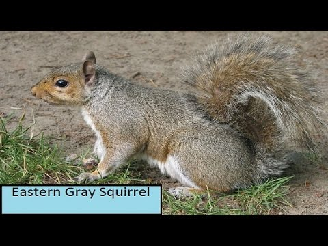 Eastern Gray Grey Squirrel Facts for Kids Children Cute Baby ...