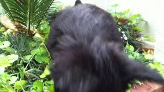 Scottie Terrier Puppy Playing In Garden
