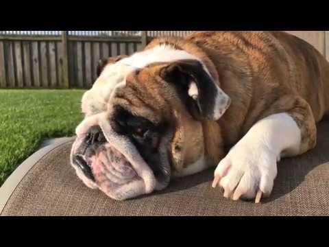 reuben-the-bulldog-the-terrible-two-s