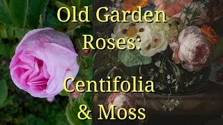 Old Garden Roses: Centifolia and Moss