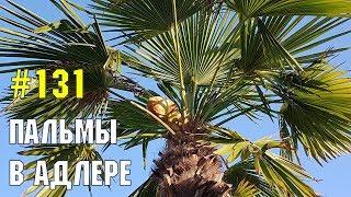 Пальмы в Адлере | Жизнь в Адлере