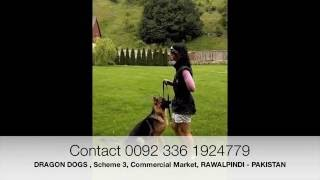 Protection dog for sale in Pakistan - Dragon Dogs , Rawalpindi - Pakistan