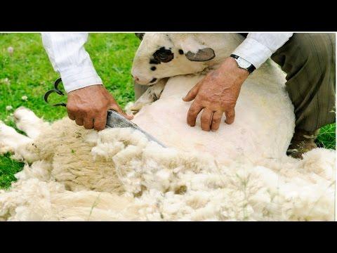 Curso Criação de Ovinos para Produção de Lã - Tosquia