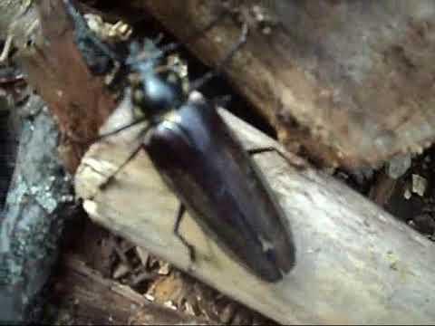 Жук Дальневосточный Усач, краснокнижное насекомое