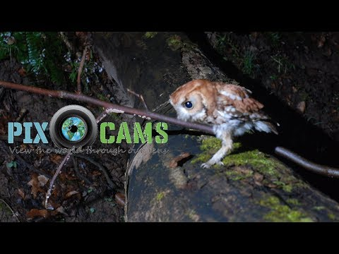 Screech Owls Live Stream PTZ Live Stream from YouTube · Duration:  1 minutes 9 seconds