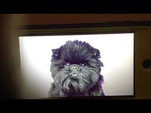 2 Brothers, 206 Dogs: Affenpinscher
