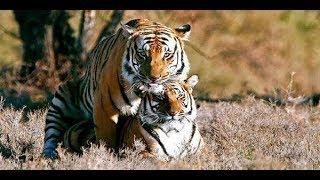 Секс и образ «Тигр» (虎) в Человеческих подвидовых программах