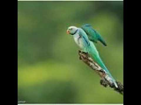 Малабарский кольчатый попугай. Читать описание.
