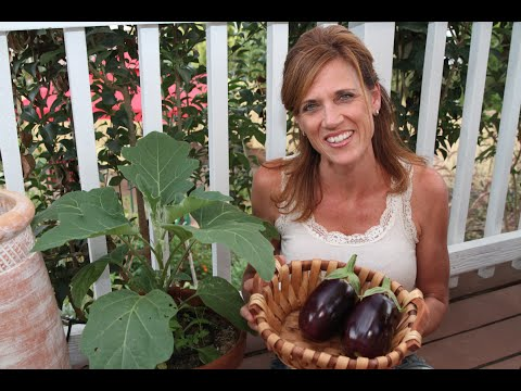 Heat, Drought, and How to Harvest Eggplant!
