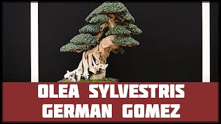 olea europea sylvestris german gomez