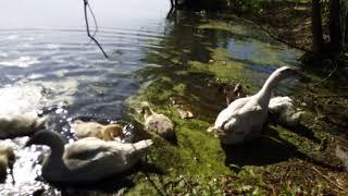 1 июля 2019 г.гусей на вольные хлеба