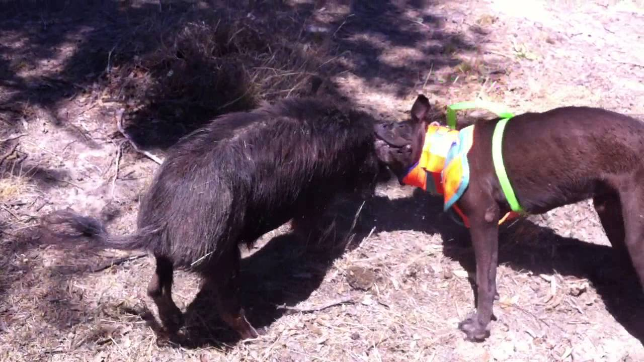 how to train a pig dog
