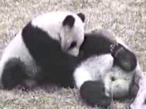 Giant Pandas in Wolong