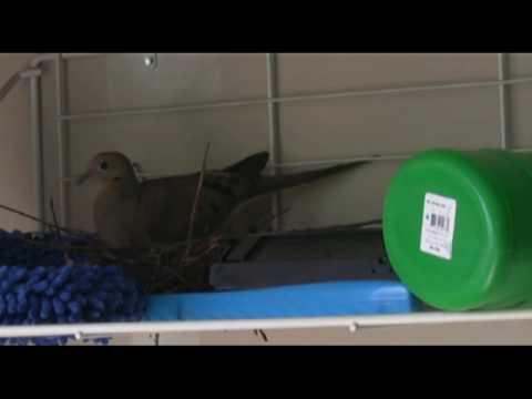 Mourning Dove - Part I: Nest building, Egg Laying, Incubation