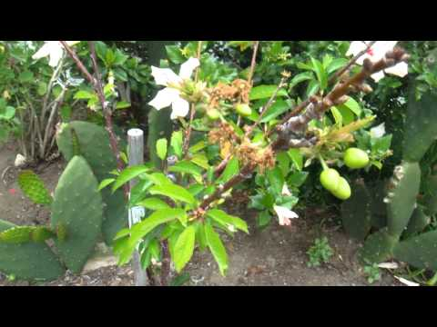 Cherry Tree - Flowering and Fruiting