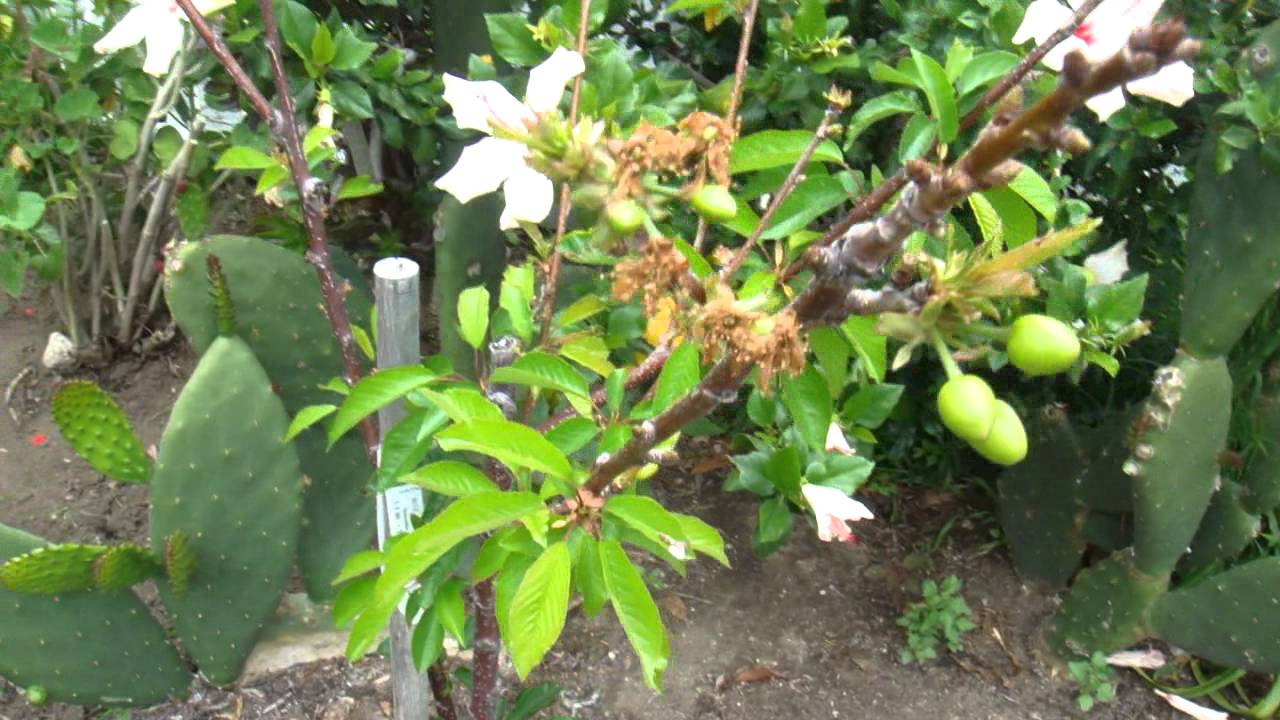 Cherry Tree Flowering And Fruiting Youtube