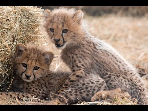 Cute Baby Cheetahs - YouTube