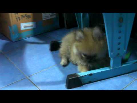 Chiangrai ลูกหมาตัวเล็กมากที่สุดในโลกจำม่ำมากน่ารักมากนะจ๊ะของระดับโลกที่1จริงๆจ๊ะ 2013