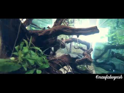 #aquascape-#biotope-#aquariumcorona-aquascape-murah-hasil-karantina-mandiri-covid-19-dirumah..
