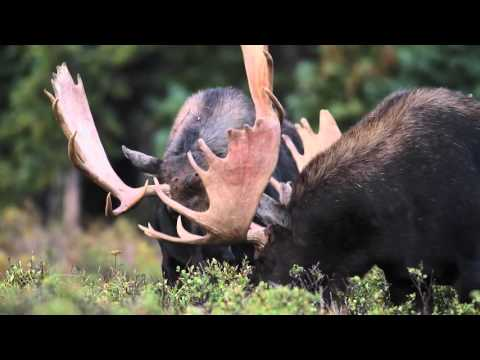 Wildlife Photography - MONSTER MOOSE  - Jackson Hole / Grand Teton National Park / Yellowstone