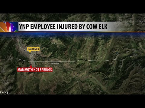 Yellowstone National Park concession employee injured by elk