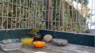 シジュウカラ と メジロ