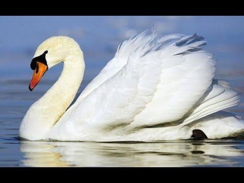 Animal SWAN LAKE Wild Life Animal Planet - Burung ANGSA Putih [HD]