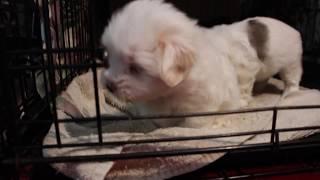 Coton de Tulear Puppies For Sale 2/10/20