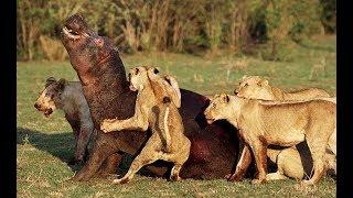 Real Animals Attack Crocodile, lions, anaconda, hippo, python, wild dogs   Animal fights