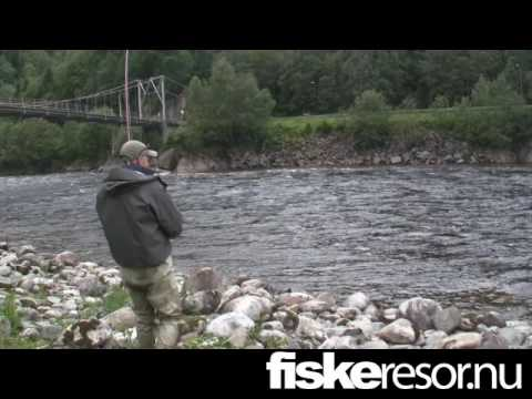 Atlantic salmon - Fly fishing in Gaula - Bridgepool