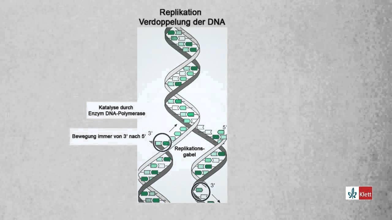 Replikation Verdoppelung der DNA Biologie / Klett Lerntraining - YouTube
