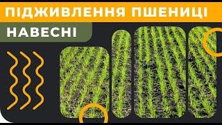 Чим підживити пшеницю навесні