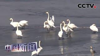 """[中国新闻] 数百只大天鹅聚集 青海湖化身""""天鹅湖""""   CCTV中文国际"""
