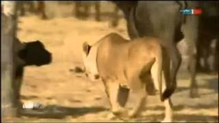Animal Attack Lions vs Buffalos part o2 Top ten10@attack to attack