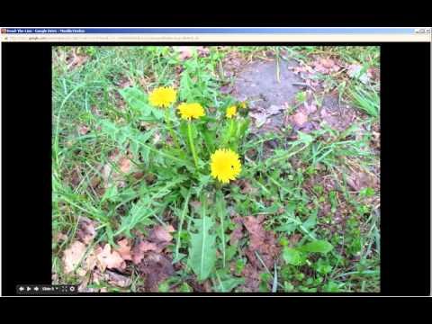 Taraxacum officinale | Dandelion (Pt 1 of 2)