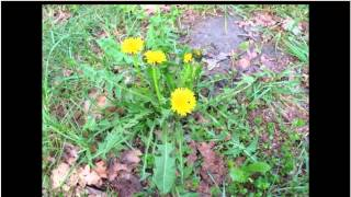Taraxacum officinale   Dandelion (Pt 1 of 2)