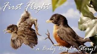 First Flight - a Baby Bird