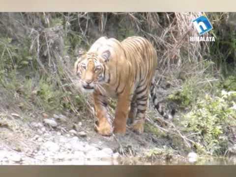 Tiger counting starts in Bardiya National Park (Nepal)