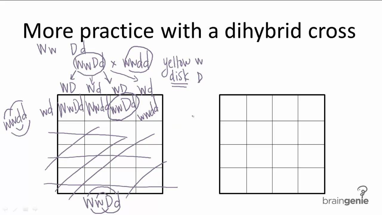 9.2.9 Dihybrid Cross Practice - YouTube
